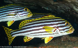 BD-070403-Similan--Plectorhinchus-vittatus-(Linnaeus.-1758)-[Oriental-sweetlips].jpg